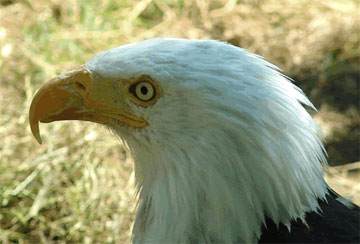 Bald Eagles - A collection of Bald Eagles images at Pics4Learning.