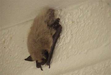 Bats - A collection of Bats images at Pics4Learning.