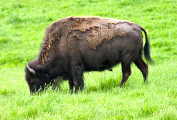 Bison/Buffalo - A collection of Bison/Buffalo images at Pics4Learning.