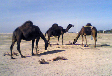 Camel - A collection of Camel images at Pics4Learning.