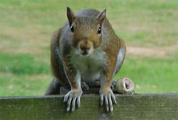 Chipmunks And Squirrels - A collection of Chipmunks And Squirrels images at Pics4Learning.