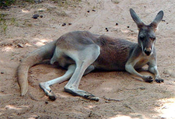 Kangaroos - A collection of Kangaroos images at Pics4Learning.