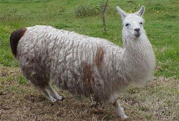 Llama - A collection of Llama images at Pics4Learning.