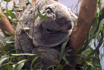 Marsupials - A collection of Marsupials images at Pics4Learning.