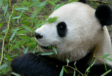 Panda - A collection of Panda images at Pics4Learning.