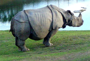 Rhinoceros - A collection of Rhinoceros images at Pics4Learning.