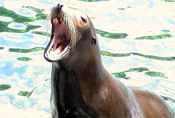 Seals And Sea Lions - A collection of Seals And Sea Lions images at Pics4Learning.