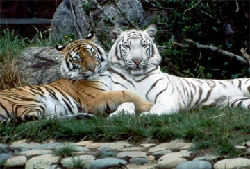 Tiger - A collection of Tiger images at Pics4Learning.