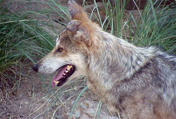 Wolves - A collection of Wolves images at Pics4Learning.