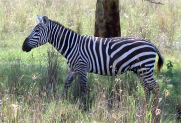 Zebra - A collection of Zebra images at Pics4Learning.